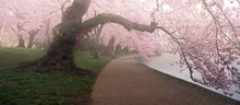 A Morning To Remember, Washington DC, cherry blossom, blossoms, tidal basin, spring, april, pink, solitude, walkway, quiet, bernard chen, timescapes