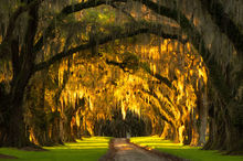 South Carolina, Avenue of Oaks, Oak, Trees, Line trees, Sunrise, road, plantation, southern living, Charleston, low country, moss