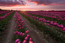 harvested blooms, laconner, washington, tulips, flowers, pink, sunset, farms, bernard chen, timescapes
