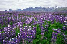 Iceland, Lupines, Lupines Field, Mountains, Bernard Chen