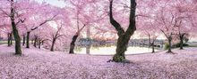 Fall For You, Washington DC, cherry blossoms, blossoms, spring, pink, tidal basin, panoramic, blooms monument, bernard chen, timescapes
