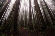 Humboldt Redwoods State Park, California, Giant Redwoods, Redwoods, Trees, Amazing Trees, Oldest Trees, Bernard Chen