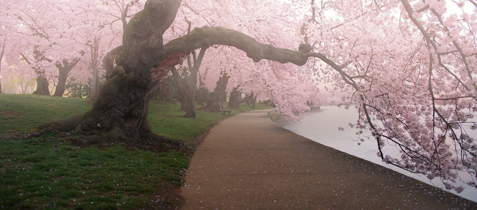 A Morning To Remember, Washington DC, cherry blossom, blossoms, tidal basin, spring, april, pink, solitude, walkway, quiet, bernard chen, timescapes, photo