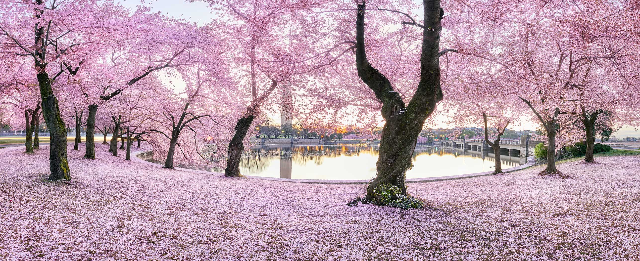 Fall For You, Washington DC, cherry blossoms, blossoms, spring, pink, tidal basin, panoramic, blooms monument, bernard chen, timescapes, photo