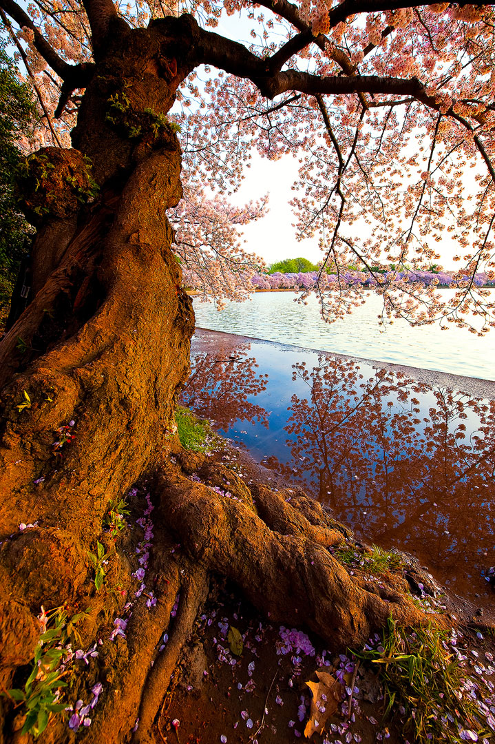 Reflection of Spring, Washington DC, cherry blossom, blossoms, tidal basin, spring, april, pink, solitude, walkway, quiet, bernard chen, timescapes, photo